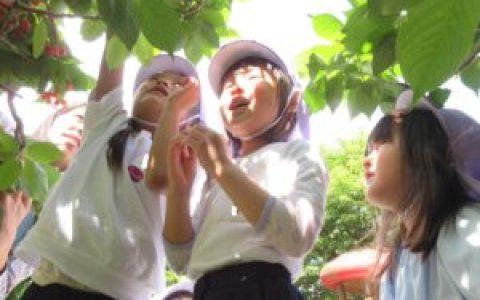 幼稚園のさくらんぼ